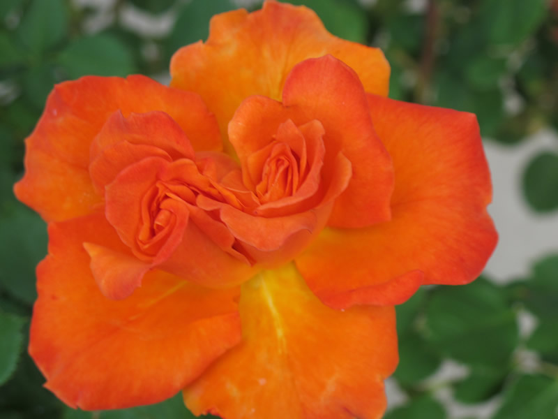 orange-roses-June-Natl-Rose-Month